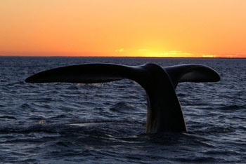 Southern Right Whale Tail Fluke