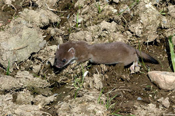 A Young Stoat