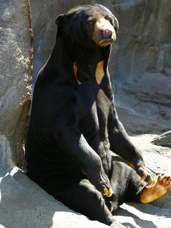 Mojo Fun NEW for 2014: SUN BEAR Sun_bear_2