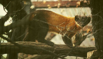 Yellow-Throated Marten