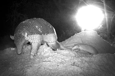 Giant armadillo with her baby