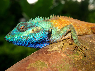 The colorful lizards can be spotted from far away, even in the deep Vietnamese rainforest.