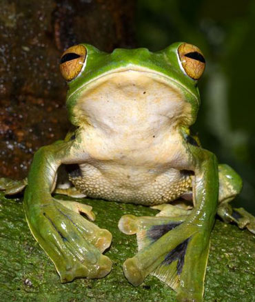 Helen's flying frog uses webbed feet to glide through Vietnamese forests.