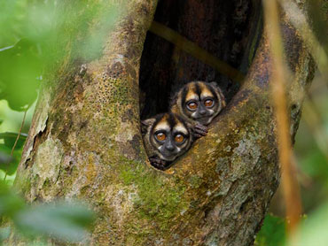 Owl monkeys peek out of a tree in Yasuni National Park, Ecuador.