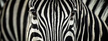 Thin stripes - especially repellent to horseflies—protect zebras' delicate facial skin
