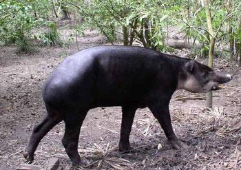 Baird S Tapir The Animal Files