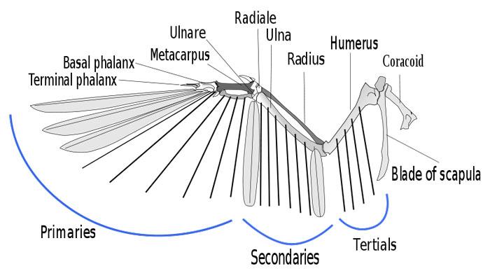 wing bones of a bird the animal fileswing bones of a bird