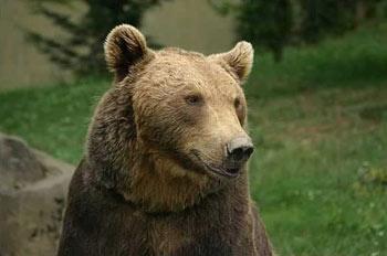 Brown Bear: The Animal Files on