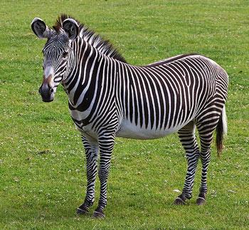 Grevy's Zebra: The Animal Files Zebra Weight