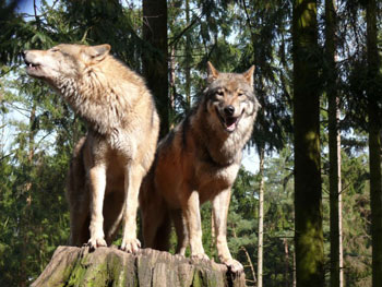 A pair of Eurasian Wolves