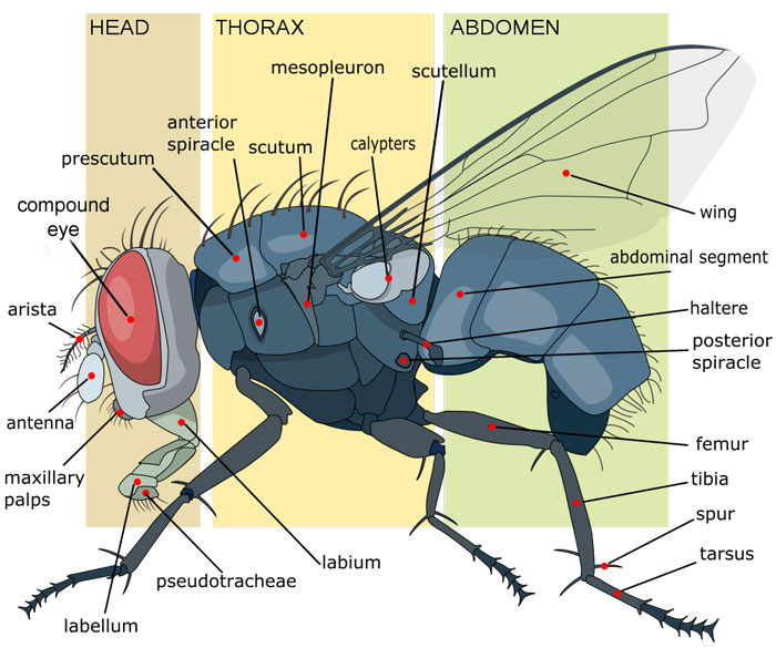 adult fly anatomy diagram