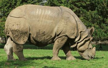 Indian Rhinoceros: The Animal Files