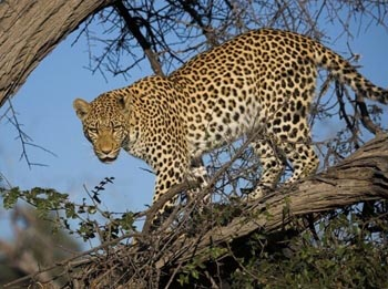 Leopard The Animal Files