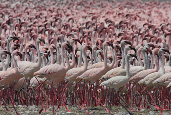 A flock of Lesser Flamingos
