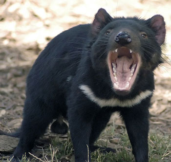 Tasmanian Devil: The Animal Files