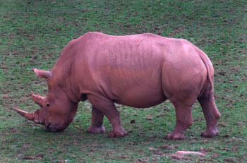 White Rhinoceros: The Animal Files