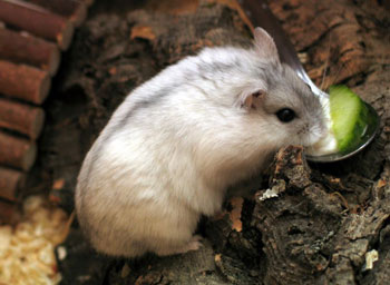 Species of Hamster: The Animal Files