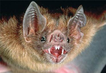 https://www.theanimalfiles.com/images_news/news_vampire_bats_biting_people.jpg